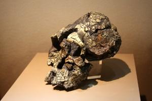 Kenyanthropus_platyops,_skull_(model)