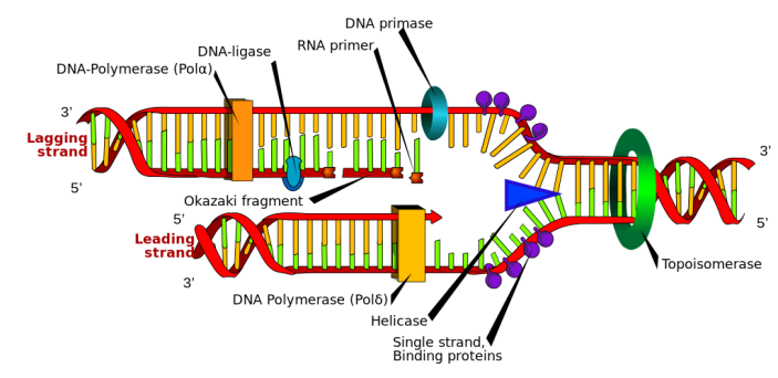 DNA_replication_en.svg